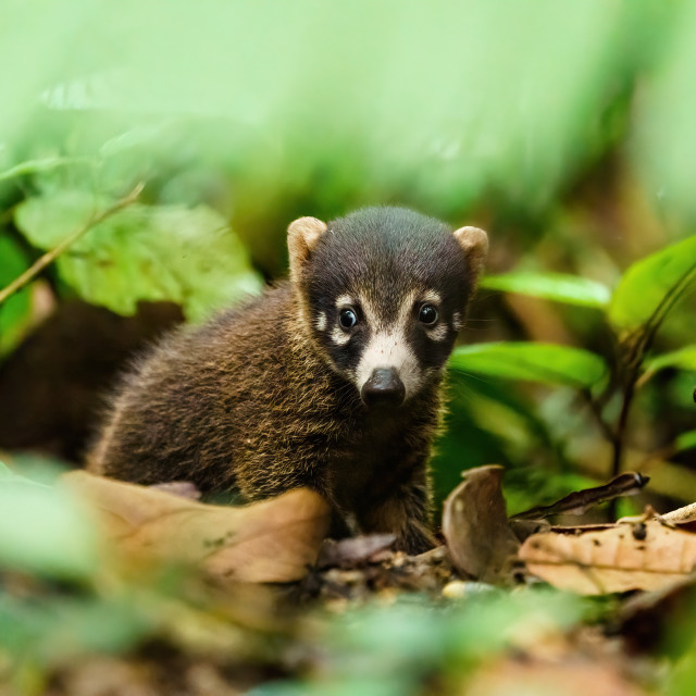 """Baby Ring-Tailed Coati (Nasua nasua rufa) in deep jungle, taken in Costa Rica"" stock image"