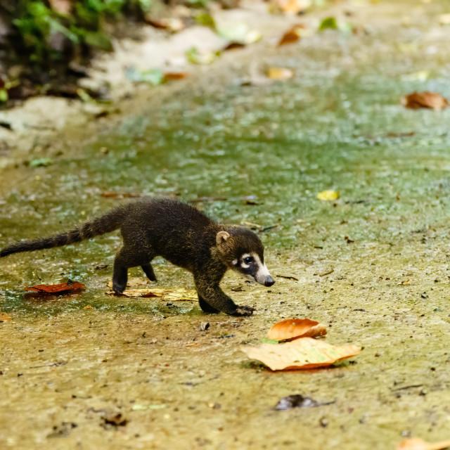 """""""Baby Ring-Tailed Coati (Nasua nasua rufa) moving acros a path in jungle,..."""" stock image"""