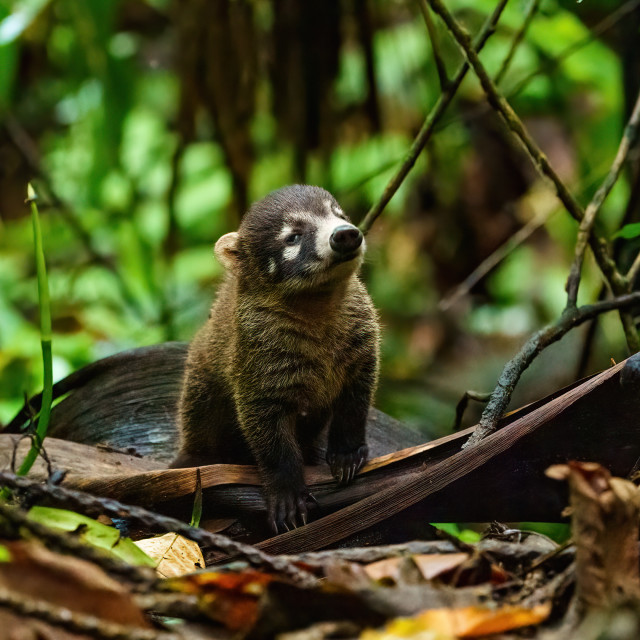 """Baby Ring-Tailed Coati (Nasua nasua rufa) with a dozy expression on it's..."" stock image"