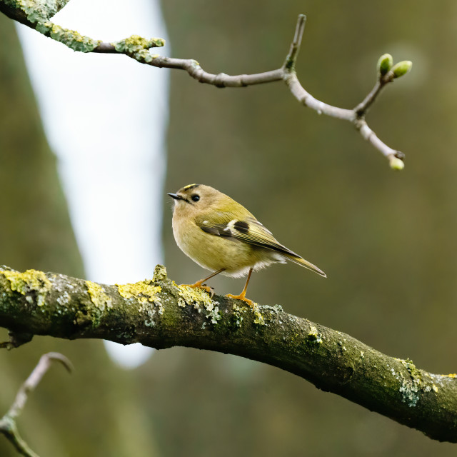 """Goldcrest (Regulus regulus) perched on a branch in early spring, taken in the UK"" stock image"