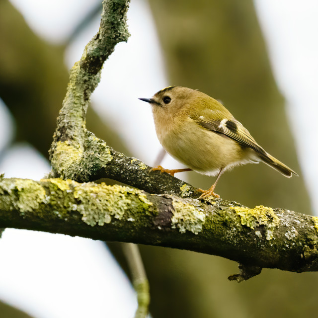 """Goldcrest (Regulus regulus) perched on a branch in early spring, taken..."" stock image"