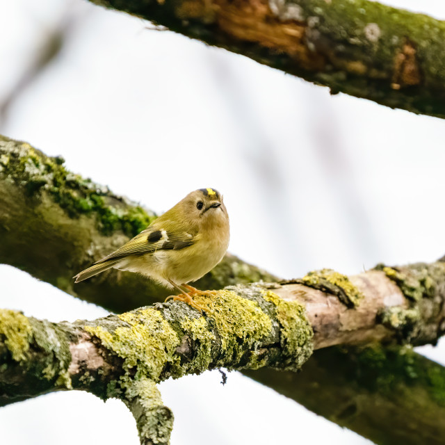 """Goldcrest (Regulus regulus) perched on a branch in early spring, taken in..."" stock image"