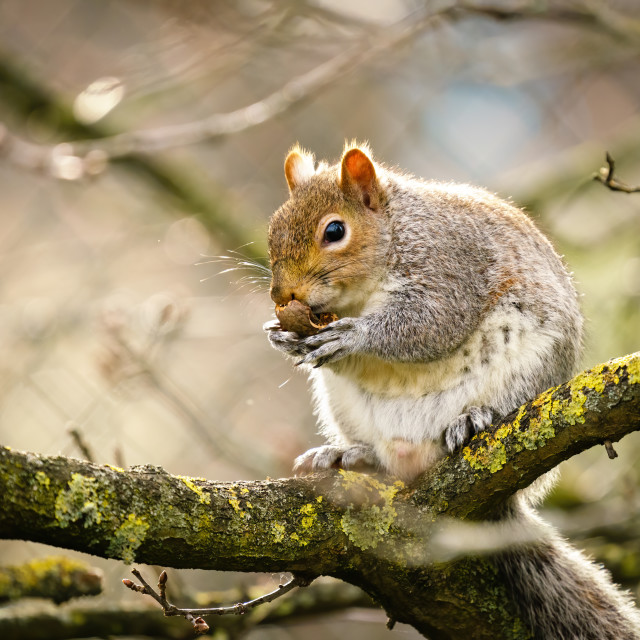 """Gray Squirrel (Sciurus carolinensis) sitting on a branch eating a nut, in London"" stock image"