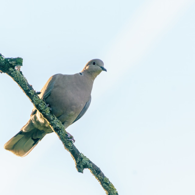"""Collared dove (Streptopelia decaocto) perched high on a branch, taken in London"" stock image"