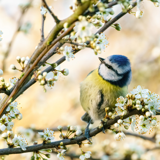 """Blue Tit (Cyanistes caeruleus) perched in a tree in full bloom, taken in England"" stock image"