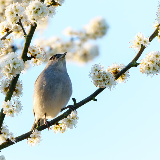 """""""Blackcap (Sylvia atricapilla) perched in a tree in full bloom in spring,..."""" stock image"""