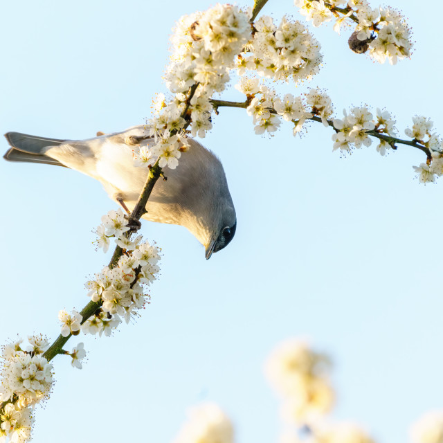 """Blackcap (Sylvia atricapilla) male hanging down from a branch in full bloom,..."" stock image"