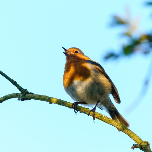 """European Robin (Erithacus rubecula) in partial shade singing, taken in West..."" stock image"