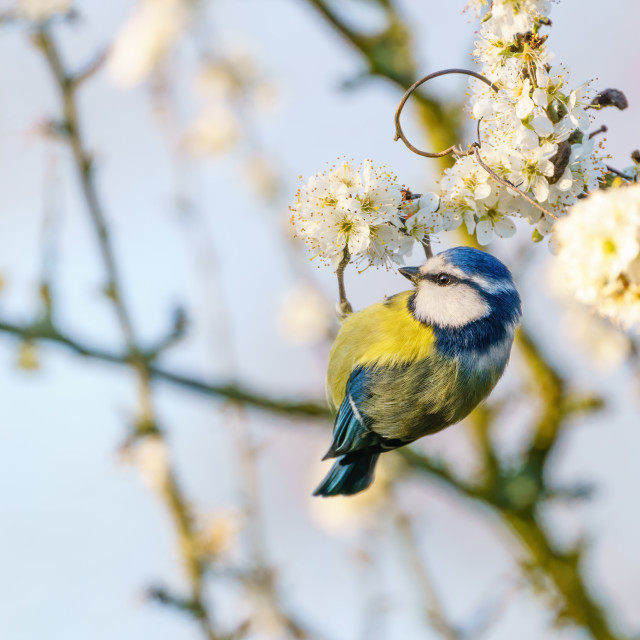 """Blue Tit (Cyanistes caeruleus) hanging from a branch in blossom, taken in..."" stock image"