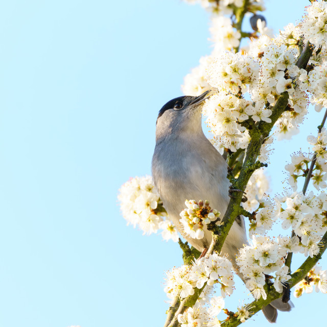 """Blackcap (Sylvia atricapilla) male feeding off blossoms in spring, taken in..."" stock image"