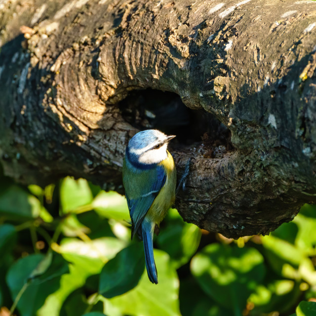 """Blue Tit (Cyanistes caeruleus) investingating a hole in a branch, taken in..."" stock image"