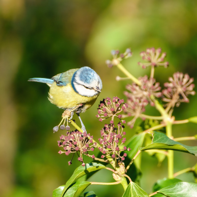 """Blue Tit (Cyanistes caeruleus) perched on some Ivy, taken in the London, UK"" stock image"
