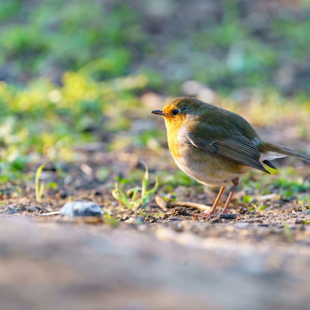 """European Robin (Erithacus rubecula) on ground in early morning light, in London"" stock image"