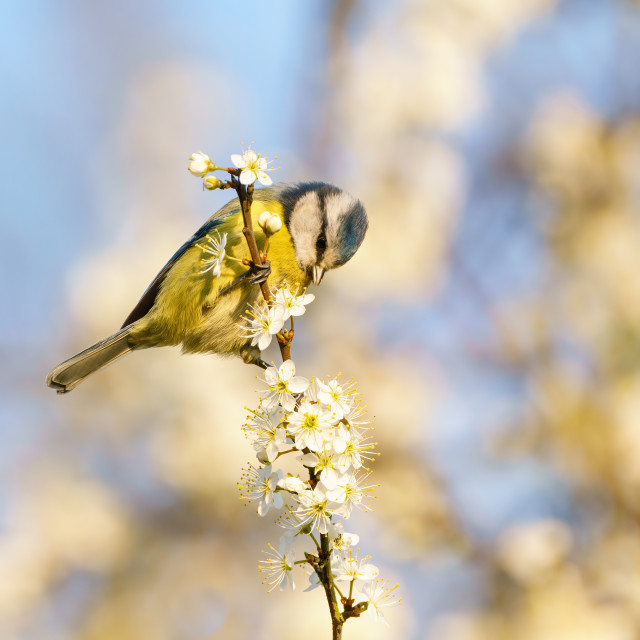 """Blue Tit (Cyanistes caeruleus) on the end of a twig in blossom, taken in the..."" stock image"