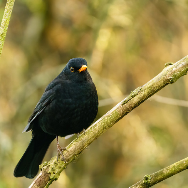 """Blackbird (Turdus merula) perched in shade of bush, taken in the london"" stock image"