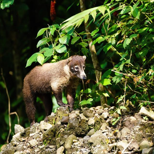 """Ring-Tailed Coati (Nasua nasua rufa) standing on mound of rocks, taken in..."" stock image"