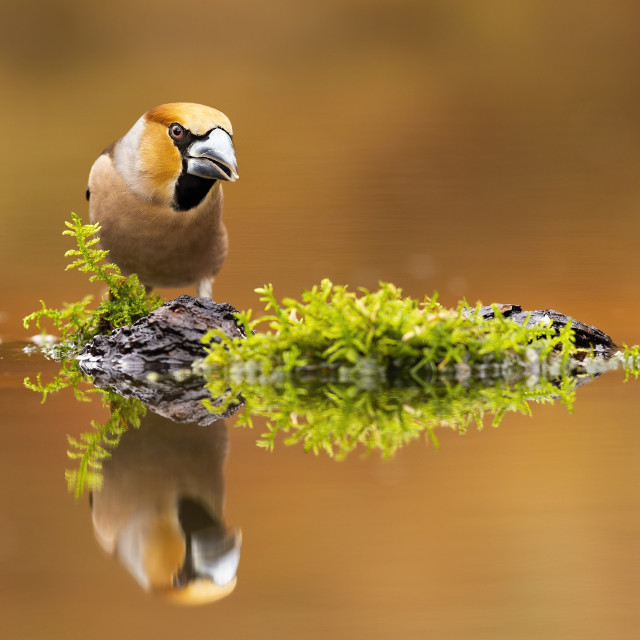 """""""Positive hawfinch male staring on its reflection in water with copy space."""" stock image"""