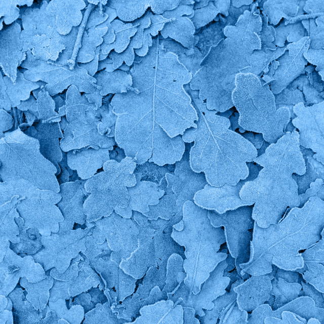 """Frozen leaves pantone classic blue color background"" stock image"