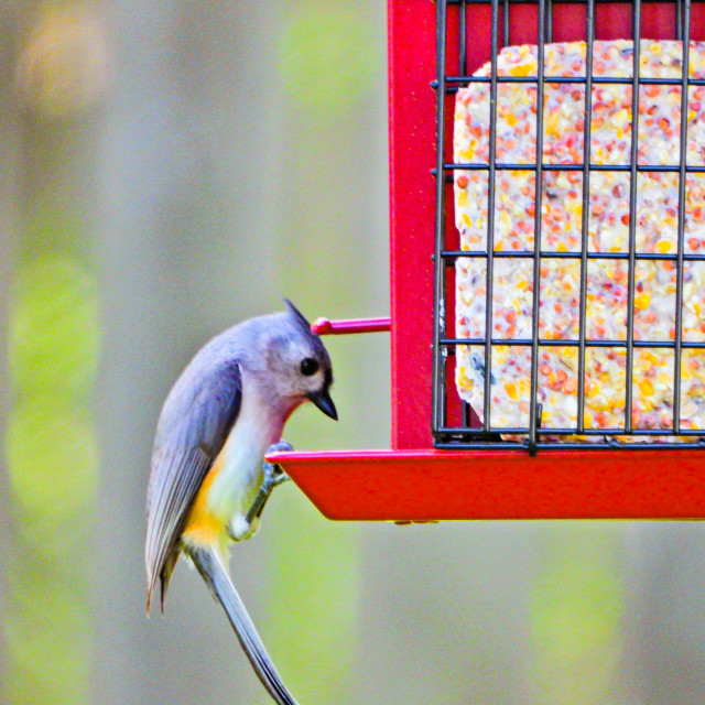 """""""Tufted Titmouse"""" stock image"""