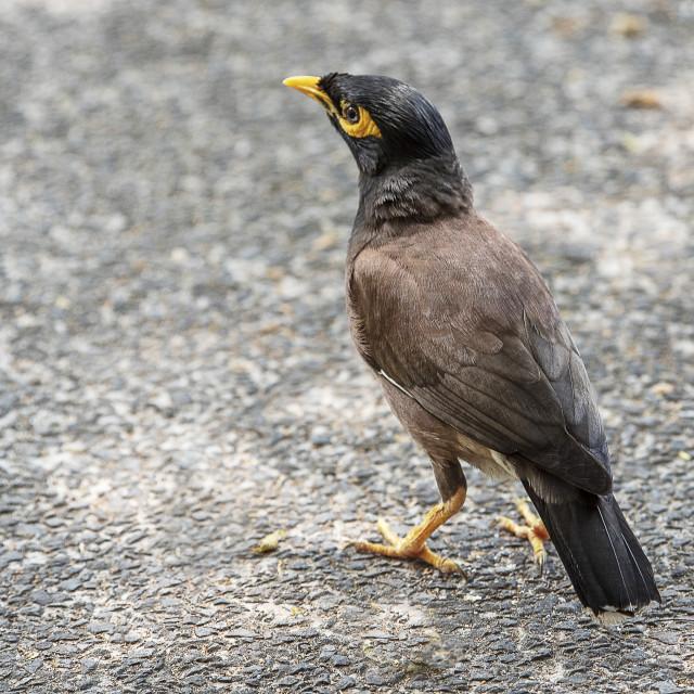 """Common Myna Bird"" stock image"