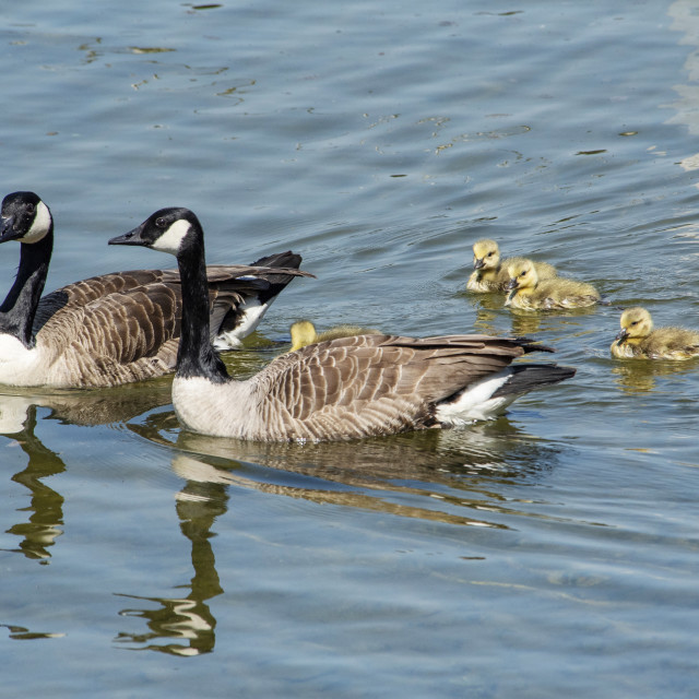 """Canada Geese Family Outing"" stock image"