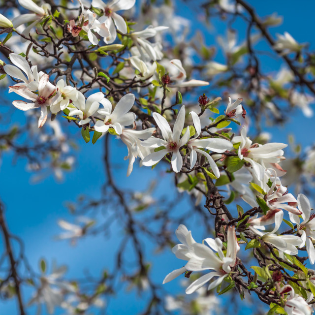 """Blossoming white magnolia"" stock image"