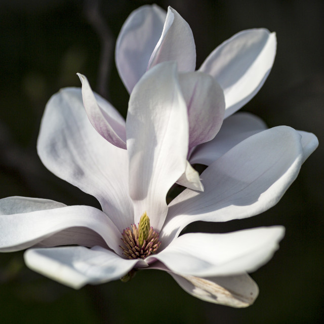 """Blossoming magnolia"" stock image"
