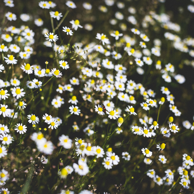"""Chamomile field on a summer day"" stock image"