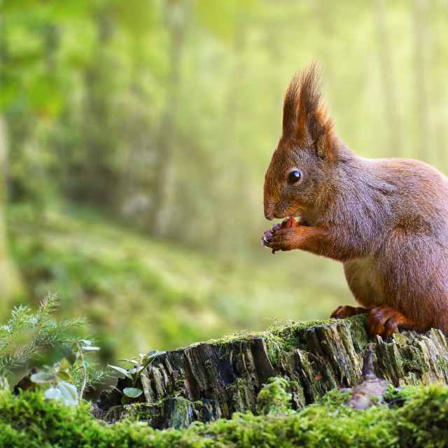 """Cute red squirrel eating a nut in green spring forest with copy space"" stock image"