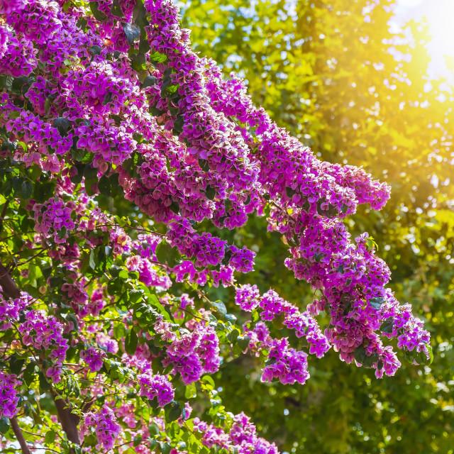 """Blooming Bougainvillea flowers"" stock image"