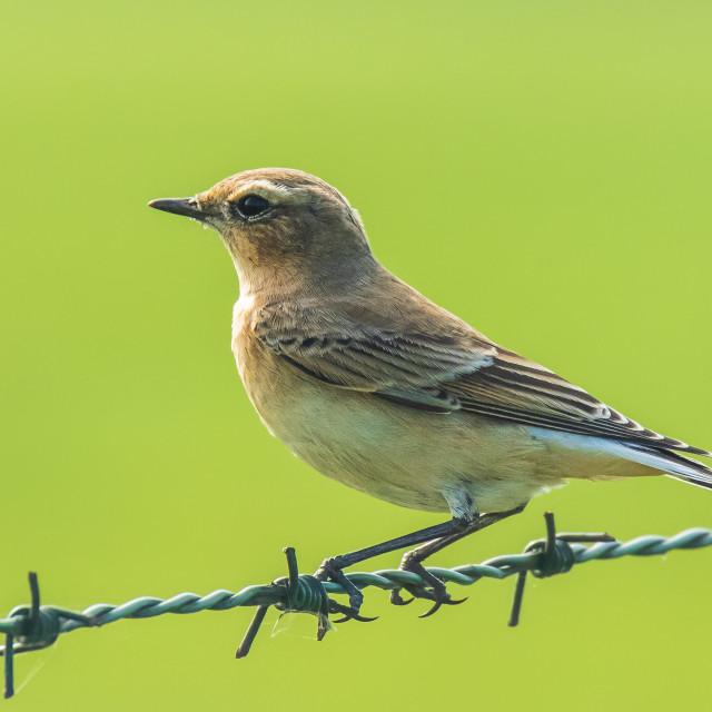 """Northern wheatear Oenanthe oenanthe female bird"" stock image"