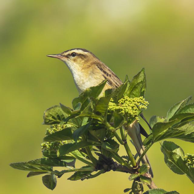 """Sedge Warbler, Acrocephalus schoenobaenus, singing"" stock image"