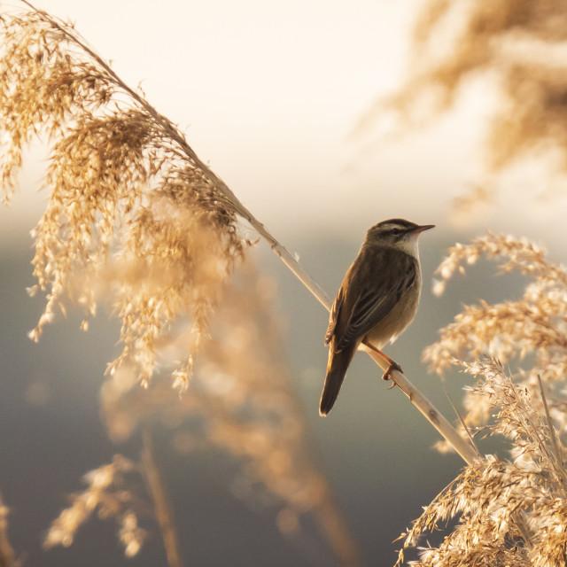 """""""Eurasian reed warbler Acrocephalus scirpaceus bird singing in reeds during..."""" stock image"""