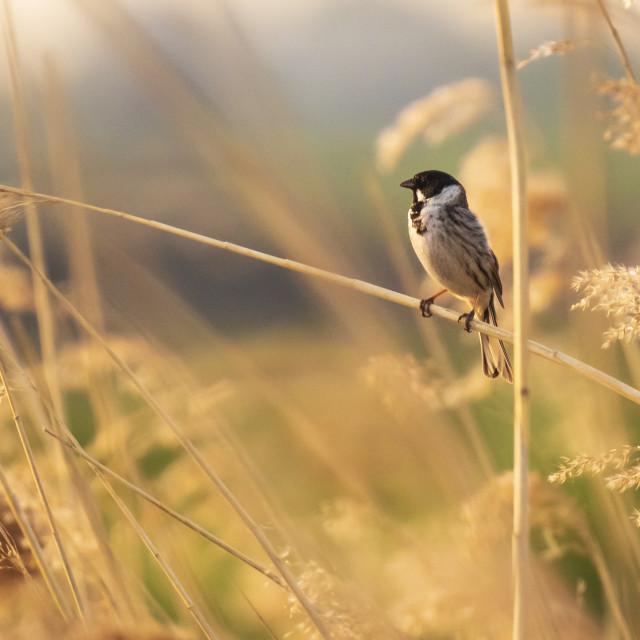 """Singing bird in the reeds during sunset"" stock image"