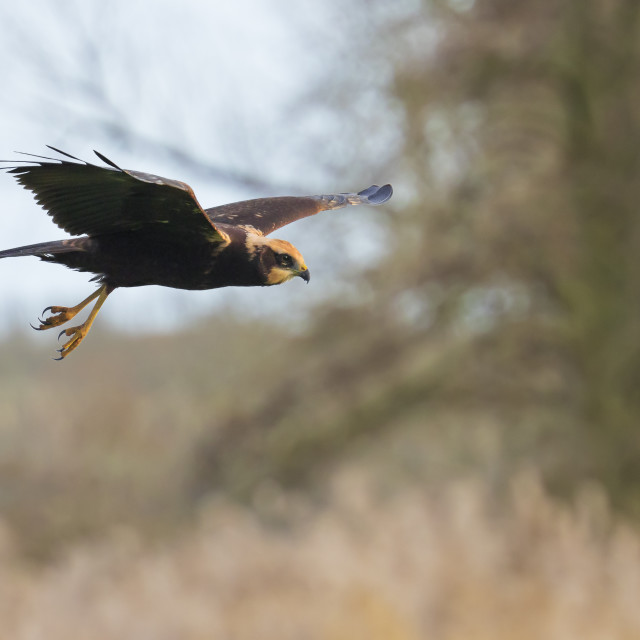 """Western marsh harrier, Circus aeruginosus, bird of prey hunting"" stock image"
