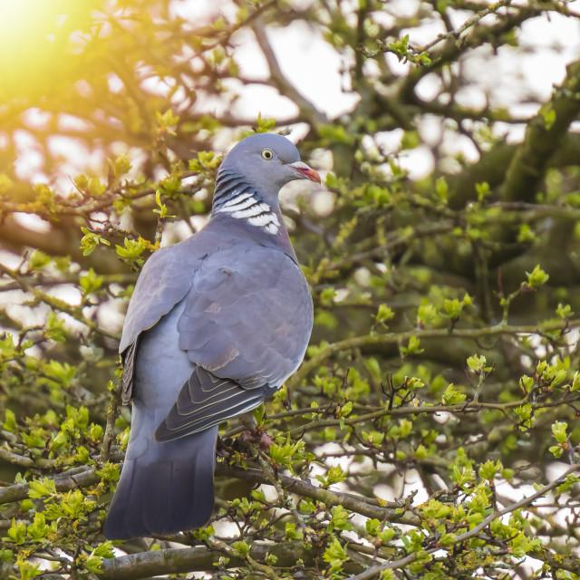 """Wood Pigeon, Columba palumbus,"" stock image"
