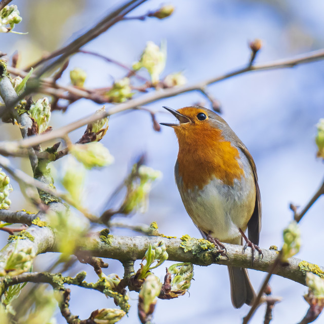 """European robin bird Erithacus rubecula singing"" stock image"