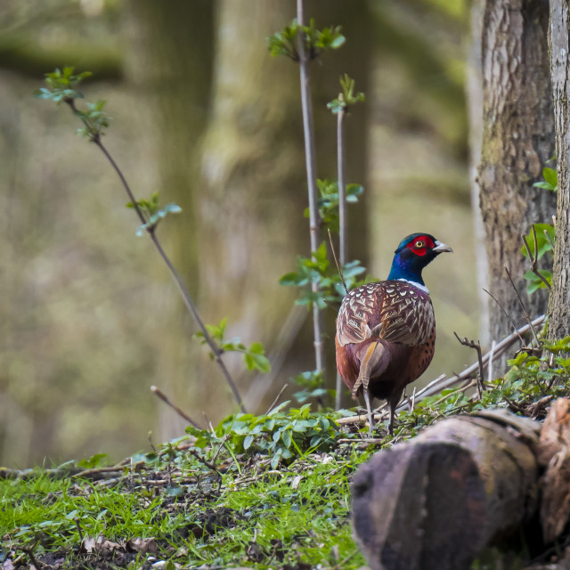 """""""Male Pheasant Phasianus colchicus scavenging in a dark forest"""" stock image"""