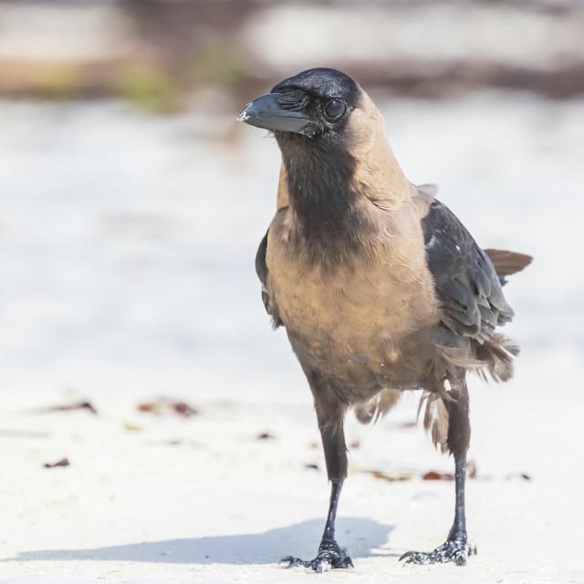 """Closeup of a House crow Corvus splendens bird"" stock image"