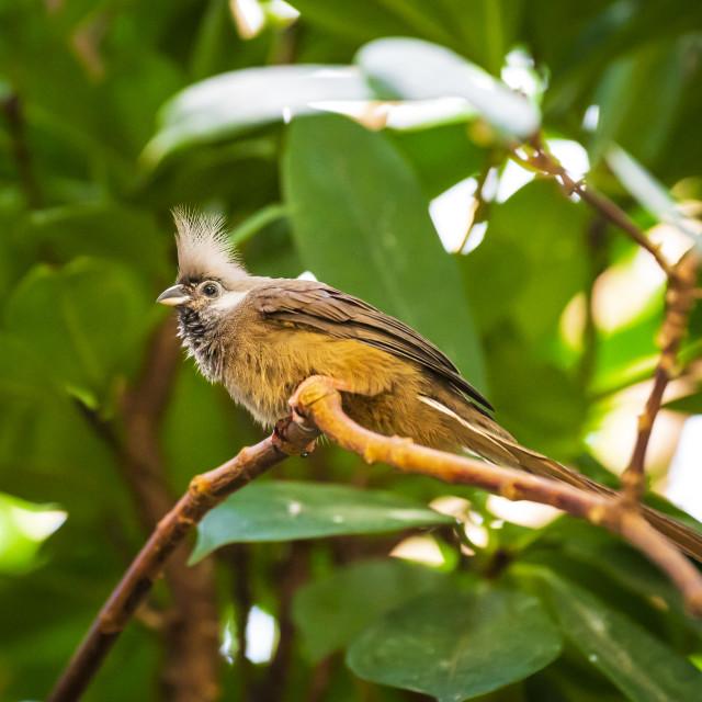 """""""Speckled mousebird Colius striatus"""" stock image"""