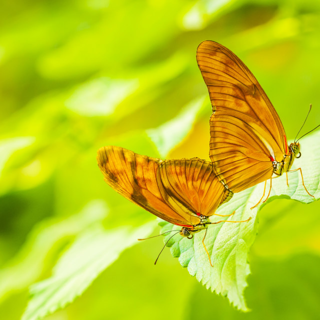 """Tropical Julia butterfly Dryas iulia mating"" stock image"