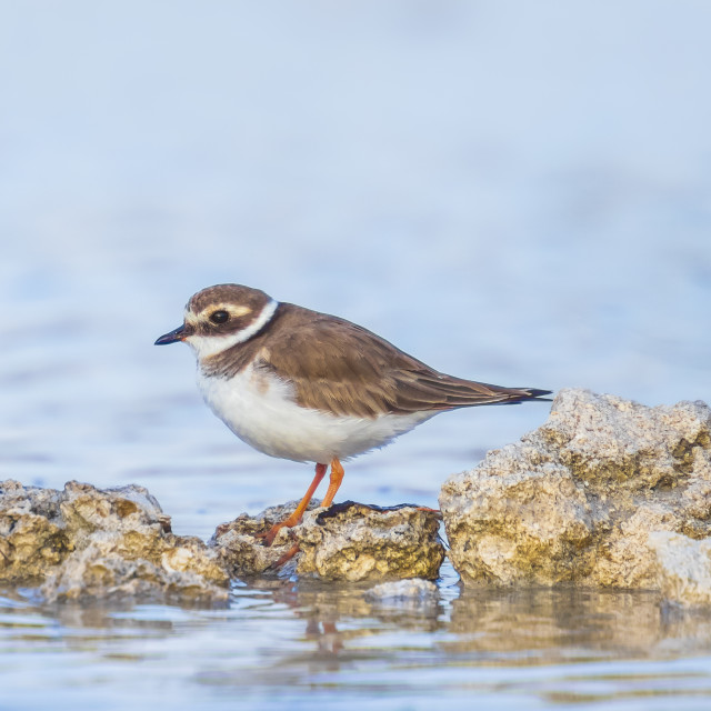 """""""Common Ringed Plover Charadrius hiaticula waterfowl bird foraging in between..."""" stock image"""