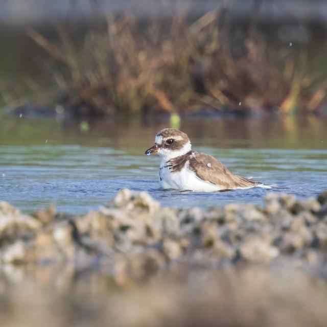"""Common Ringed Plover Charadrius hiaticula waterfowl bird preening and..."" stock image"