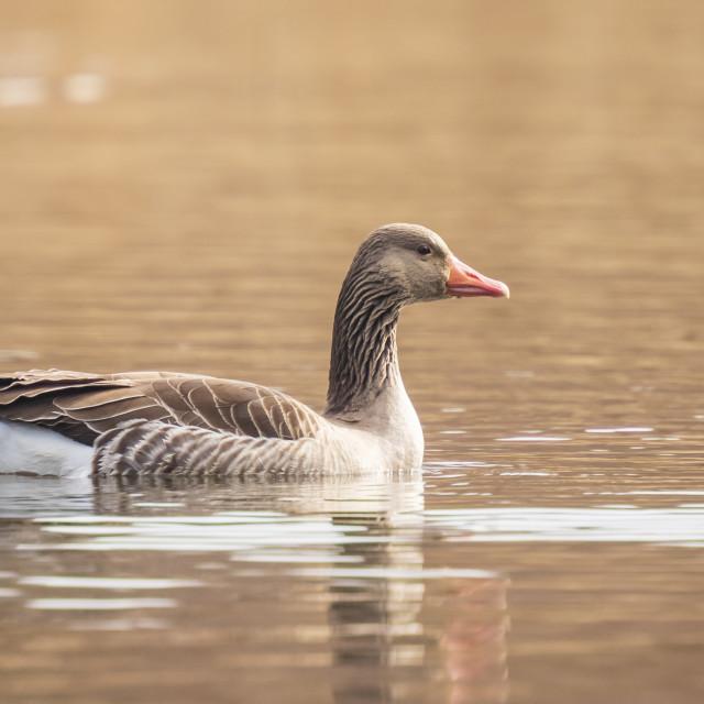 """Greylag goose, Anser Anser, swimming in a lake"" stock image"