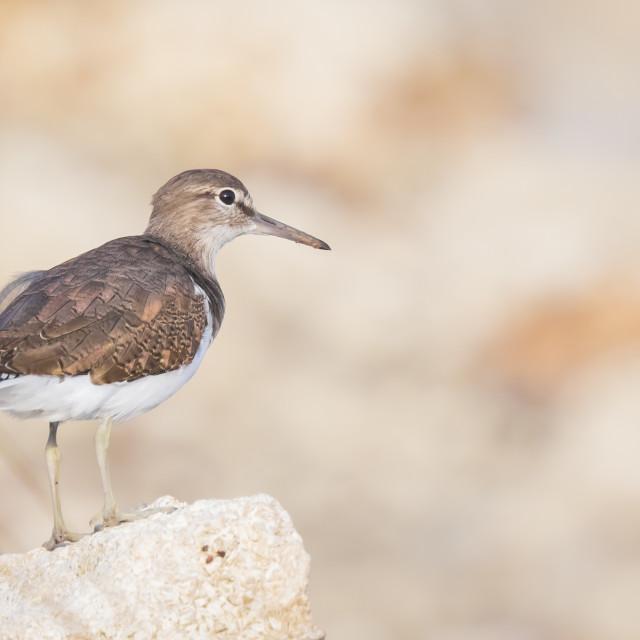 """Common Sandpiper Actitis hypoleucos bird"" stock image"
