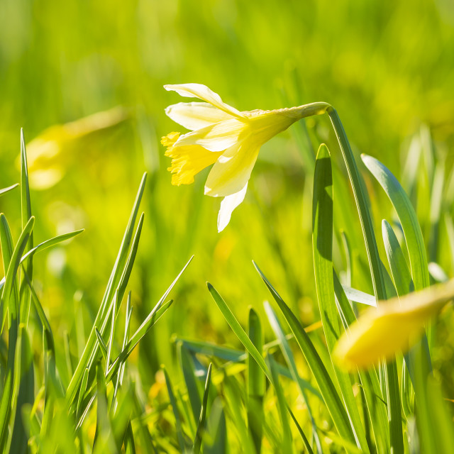 """""""Yellow Daffodil flower or Lent lily, Narcissus pseudonarcissus, blooming in a..."""" stock image"""