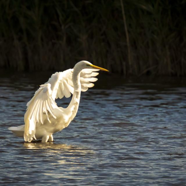 """Great egret Ardea alba waterfowl closeup"" stock image"