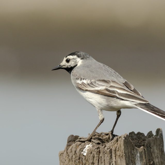 """White Wagtail (Motacilla alba) bird perched"" stock image"