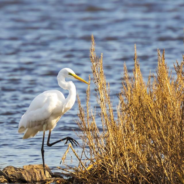 """Great egret Ardea alba waterfowl fishing in a natural habitat"" stock image"