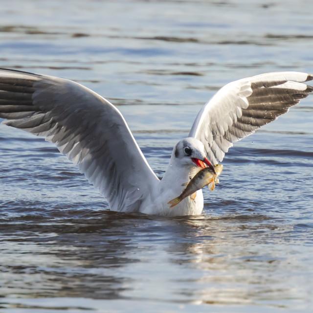 """Black-headed gull, Chroicocephalus ridibundus, catching a fish"" stock image"